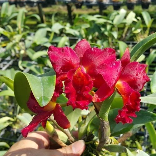 Cattleya Orchid Hybrid Dragon Red Blooming Size From Thailand Orchids Cattleya Orchid Beautiful Flowers