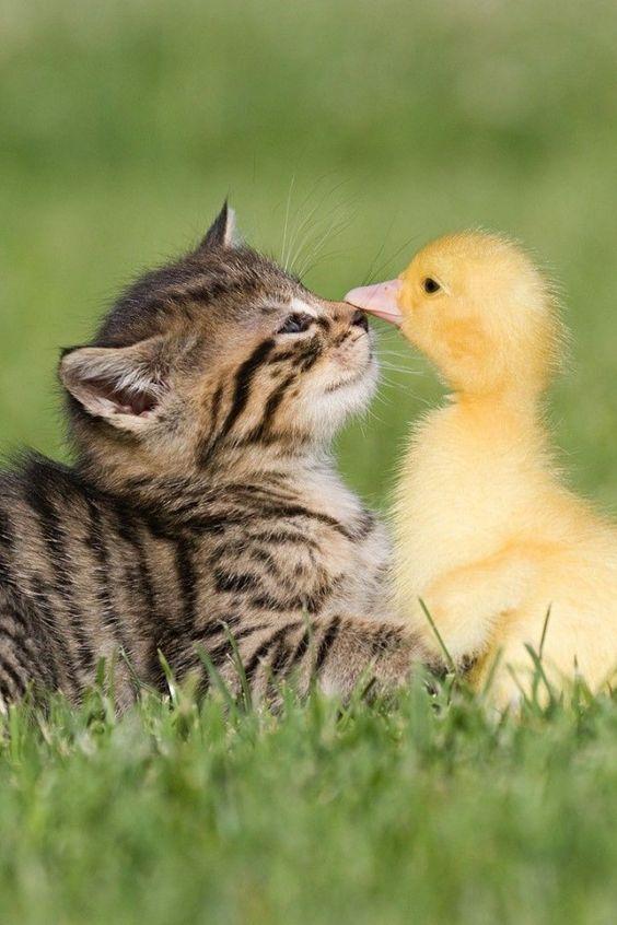あひるとキスする子猫の横顔