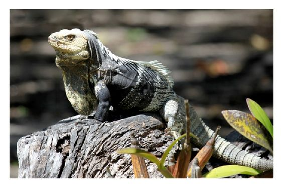San Esteban Spiny Tailed Iguana Ctenosaura Conspicuosa An Endemic Found Only On Isla In The Gulf Of California Sea Cortez