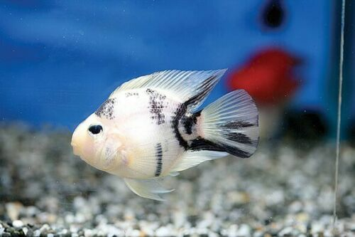 Panda Parrot Cichlid Free Expedited Shipping Just As Parrots Are Selectively Bred For Their Body Shape They Can Also Parrot Fish Cichlids Betta Fish Types