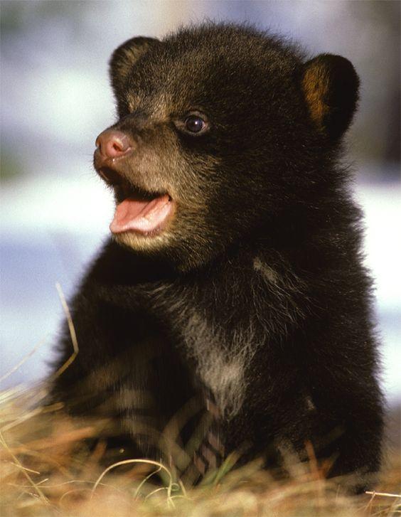 black bear cub oh geeze