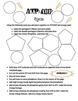 Worksheet Atp Worksheet worksheet 11 atp adp cycle 4 1 chemical energy and set up the activities fun on pinterest atp