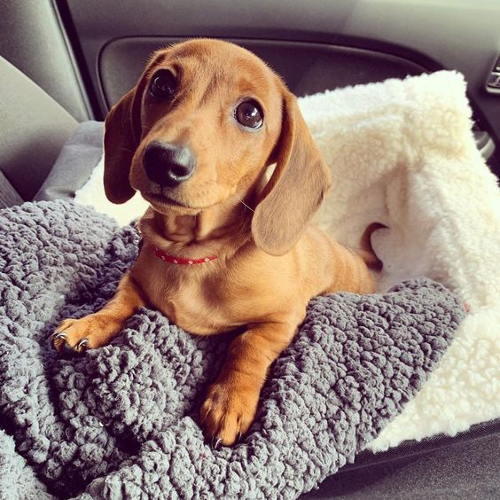 Pictures Of Weiner Dog Puppies