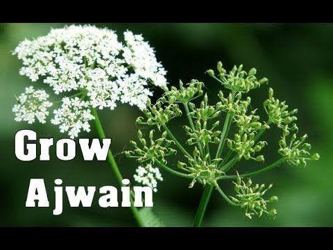How To Grow Ajwain Celery At Home अजव यन In Hindi ह द Youtube Celery Growing Herbs