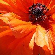 Flaming Orange Poppy by Bruce Bley