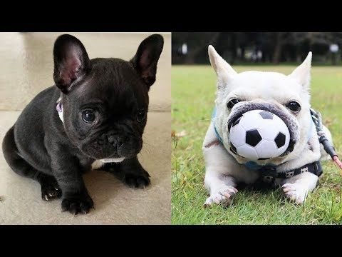 Funny And Cute French Bulldog Puppies Compilation 5 Cutest