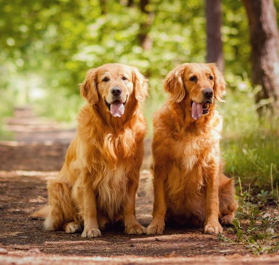 Sooner Golden Retriever Rescue Dedicated To Finding Good Homes