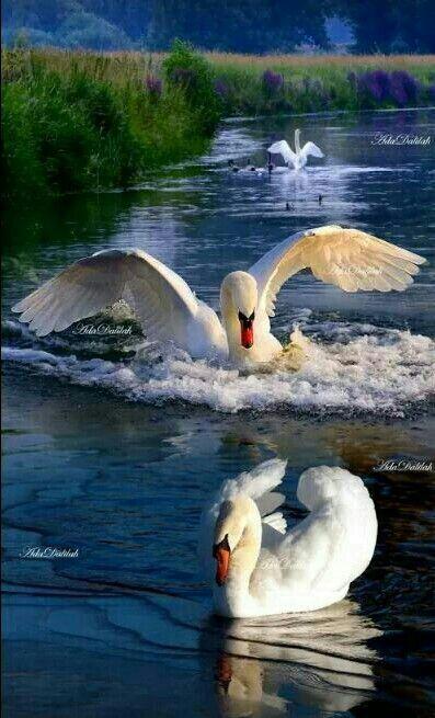 37+ Beautiful swan ideas