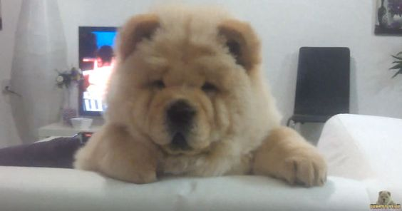 Video Watch As Bebeto The Adorable Chow Chow Puppy Loses Control Does Anything He Wants In Their House Precious Pooches Chow Chow Puppy Chow Chow Dogs Puppies