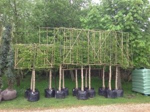Pleached Hornbeams ready for installation.
