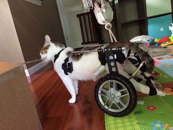 Yes, that's a cat in a Ruff Rollin' Dog Wheelchair for back legs! Cats are actually great candidates for wheelchairs and we have built quite a few.