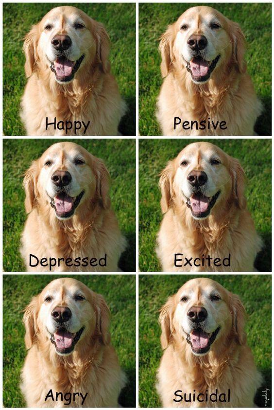 How To Recognize Golden Retriever S Face Golden Retriever