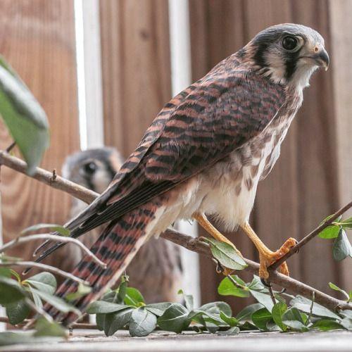avianrecon: Alguns de nossos mais velhos falcões se formaram para um recinto fora!  Próxima parada: o selvagem!  #americankestrel #rehab