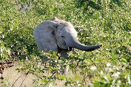 Éléphant, Trompe, Jeune Animal, Afrique