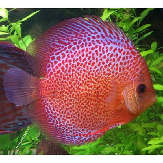 Discus aquarium fish cichlid crazy pinterest for Best place to buy discus fish