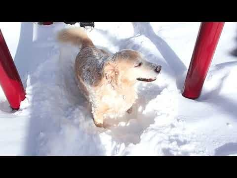 Funny Dog Tunneling Into The Snow At Mammoth Creek Park Mammoth