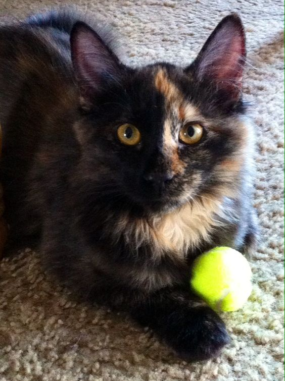 My daugjter''s kitten named Blaze. She is 5 months old. With her very own tennis ball!