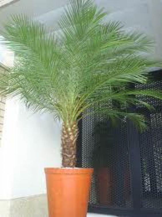 A Fenix é uma palmeira ereta. de simples, fina e elegante, geralmente se estreita na base. P seu crescimento é lento, podendo atingir de 2 a 4 metros de altura e 15 a 20 cm de diâmetro de tronco, muito conhecida pelo nome  mini-palmeira. Sua reprodução ocorre por meio de sementes que a planta feminina produz. As suas flores são de coloração amareladas e seus frutos vinho-escuros que são muito apreciados pelos pássaros.