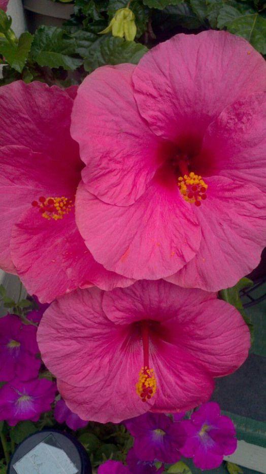 Hibiscus Hibiscus Quotes Hibiscus Plant Amazing Flowers Wonderful Flowers