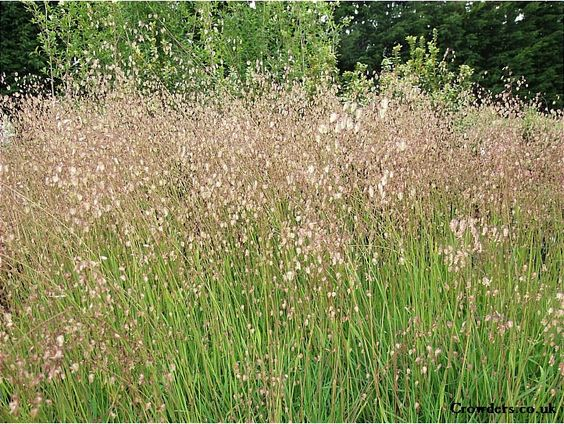 Briza media common quaking grass planten combinaties for Common ornamental grasses