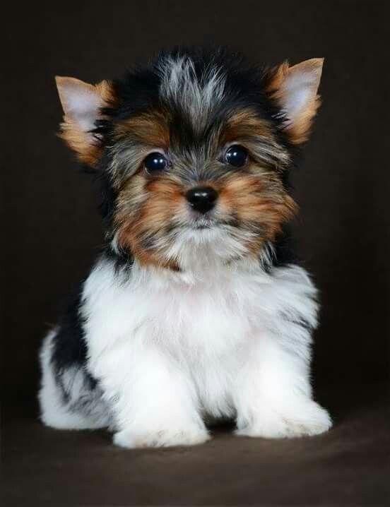 Sooo Cute Yorkshireterrier In 2020 Biewer Yorkie Yorkshire Terrier Puppies Dog Breeds