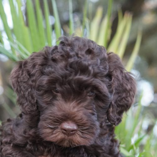 Meet Willie Male Alaa Australian Labradoodle Puppy For Sale In