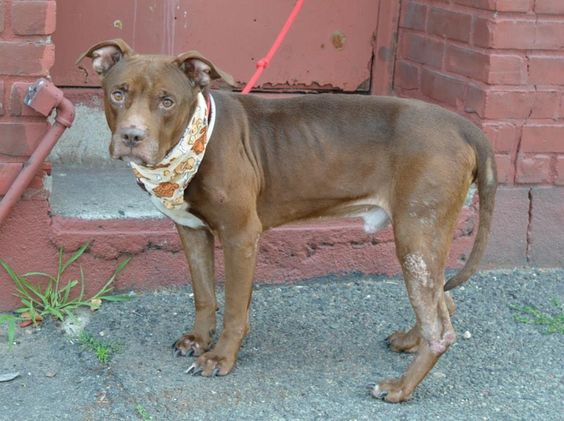 SAFE --- TBD UNKNOWN STATUS 7/17/14  Brooklyn Center    My name is LAMON. My Animal ID # is A1006086.  I am a male chocolate and white pit bull mix. The shelter thinks I am about 6 YEARS old.   I came in the shelter as a OWNER SUR on 07/09/2014 from NY 11208, owner surrender reason stated was NO TIME.  https://www.facebook.com/photo.php?fbid=837103386302542&set=a.617941078218775.1073741869.152876678058553&type=3&theater