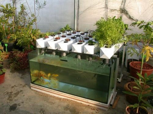 Fish tank dwc system hydroponics hydroponics for How to grow hydro in a fish tank