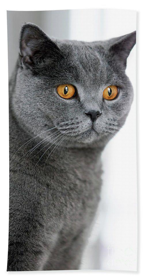 Grey British Shorthair Cat Staring In The Space Beach Sheet For British Shorthair Cats British Shorthair British Shorthair Kittens