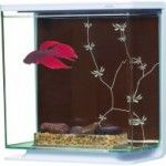 Before you set up your betta fish tanks you should realize that male betta fish (siamese fighting fish) are extremely aggressive towards other fish, (particulary other male betta's), if you put two male bettas in the same tank they will fight to the death. A male betta will even attack a female betta if he's …