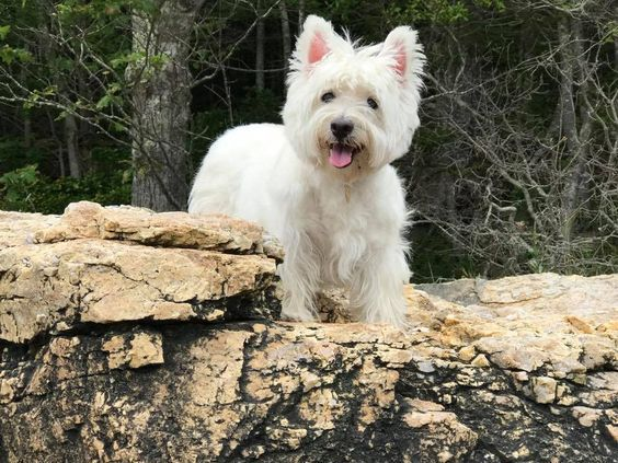 Pin By Andrea Schlapia On Westies Beautiful Dogs Westies Puppies