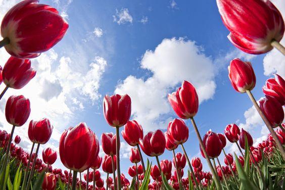 Rode Tulpen, Blauwe lucht op canvas, aluminium (dibond), Xzpozer of poster print.