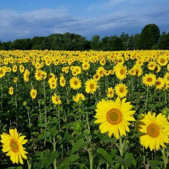 Greendale Farms Kane Sunflower Fields Fields Sunflower Season
