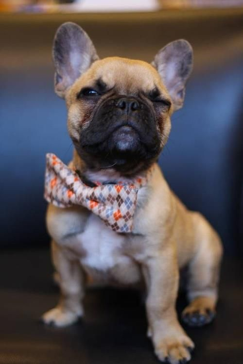 Adorable Fawn French Bulldog with bow tie