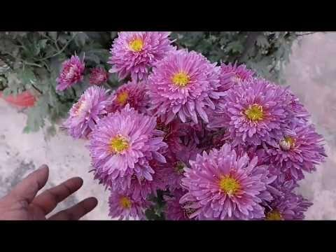 76 Aise Chrysanthemum Pots Zyada Sunder Lagenge Youtube In 2020 Chrysanthemum Flowers Pot
