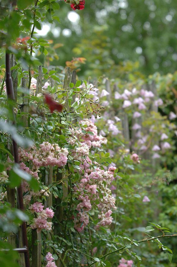 Zaun aus Kastanienholz. Von einer Kletterrose überwachsen.