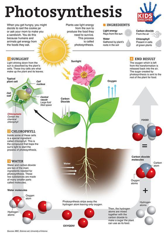 photosynthese infografik and f r kinder on pinterest. Black Bedroom Furniture Sets. Home Design Ideas