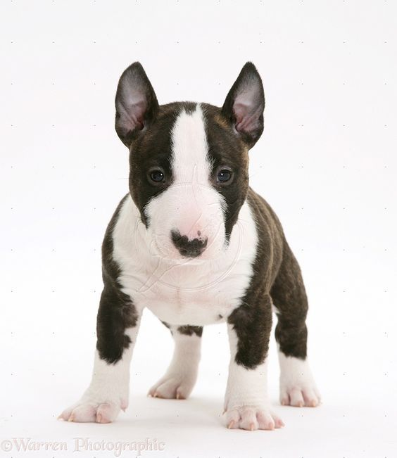 Miniature English Bull Terrier Pup 6 Weeks Old Too Cute With