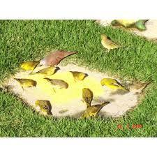 Resultado de imagem para imagem de canário da terra