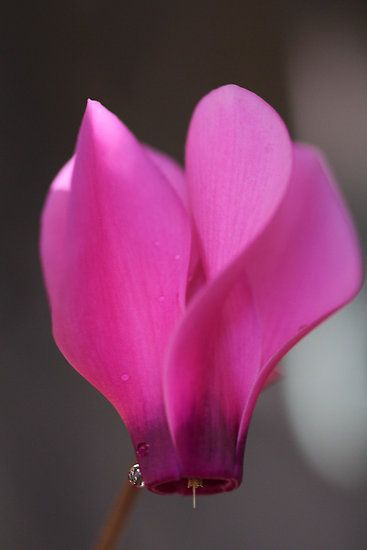 Pink Cyclamen flower by Terry Rodger Smith