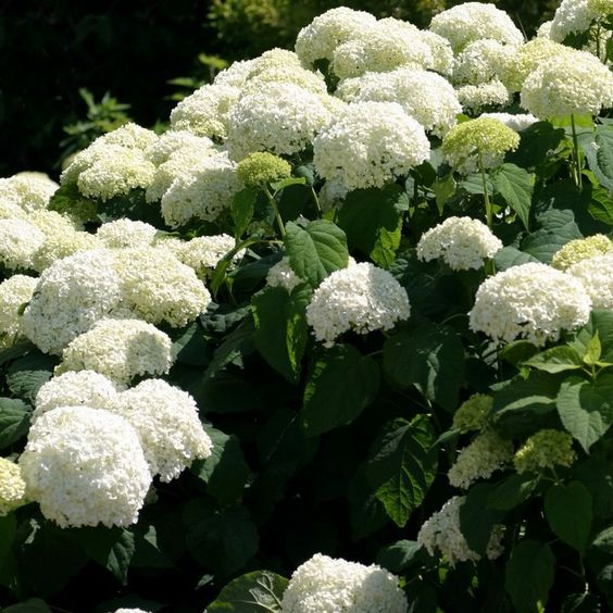 hydrangea arborescens 39 annabelle 39 hortensia arbustif boule blanche hydrangea arborescens. Black Bedroom Furniture Sets. Home Design Ideas