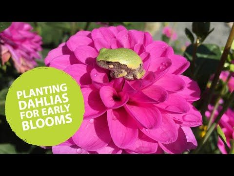 How To Plant Dahlias Early The Impatient Gardener Youtube In 2020 Planting Dahlias Dahlia Plants