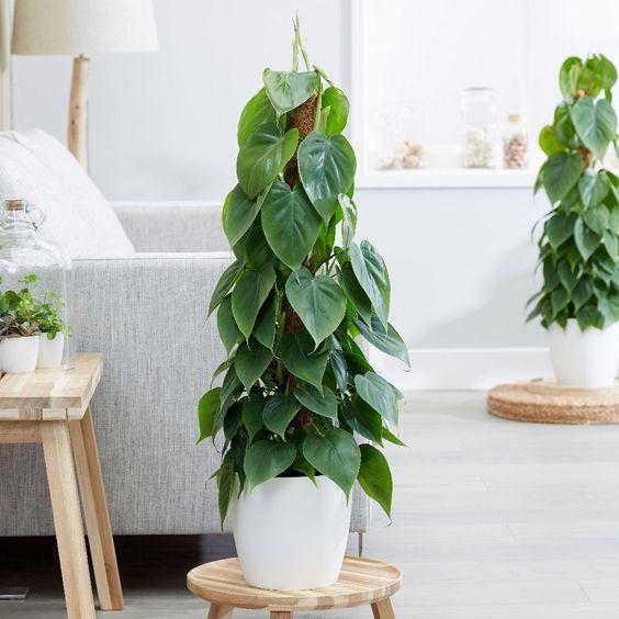 Cuidados Philodendron Scandens O Filodendro Trepador Infojardineria Es Plantas Terrários