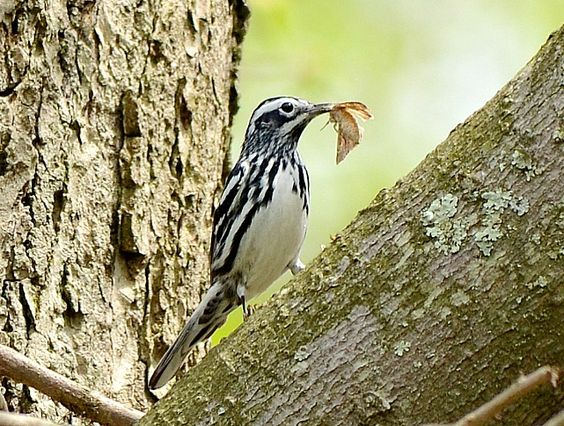 Black and White Warbler: 19 April 2015, Luria Park, Falls Church, VA, 3:00 p.m., partly sunny, breezy, 65 degrees