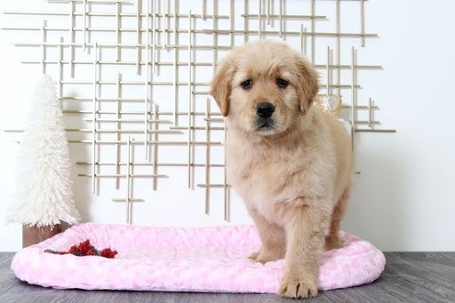 Golden Retriever Puppy For Sale In Bel Air Md Adn 60231 On