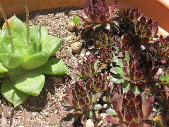 Cactus and suculents collection (cactaceae garden) - Sempervivium sp.