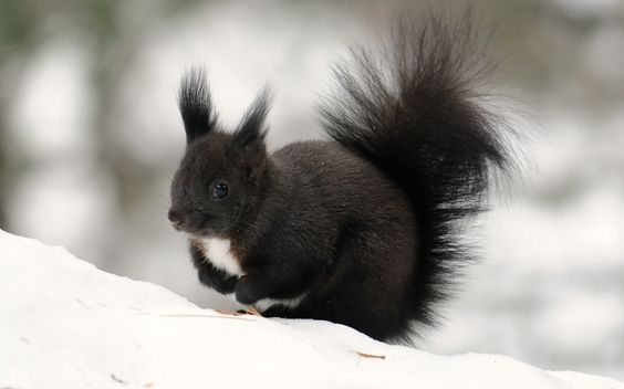 Black fluffy squirrel!