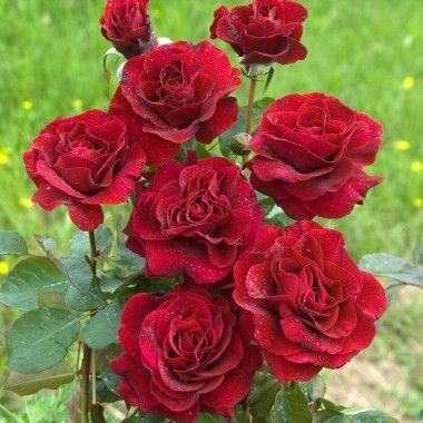 Rosier Palais Des Papes® 'Doravig' (grandes fleurs)