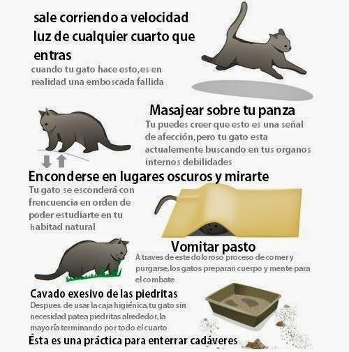 Cómo Saber Si Tu Gato Tiene Un Plan Para Matarte Gatos Animales De La Naturaleza Comportamiento De Los Gatos