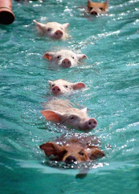 Big Major Cay, #Bahamas #Pig #Summer #destination